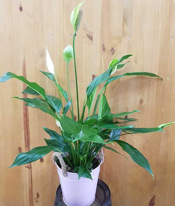 plante fleurie blanche