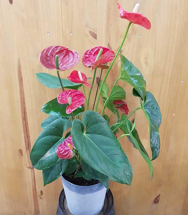 plante fleurie rouge